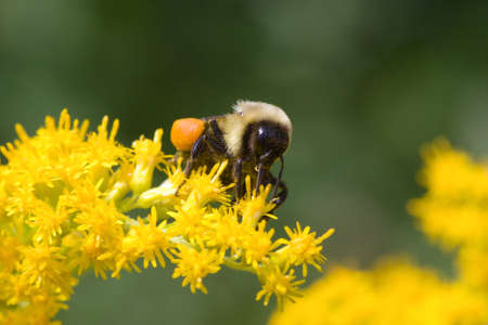 Golden Northern Bumblebee collecting pollen on a yellow flower. Stock Photo
