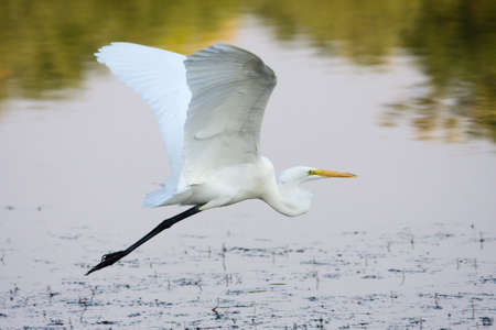 Great Egret flying to a different fishing spot. Imagens