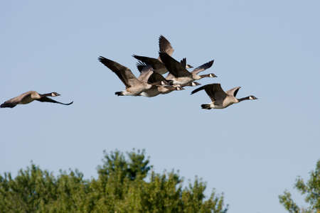 flying geese: A group of Canadian Geese flying to a new spot. Stock Photo