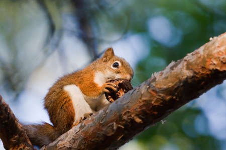 Squirrel eating a Walnut in a tree. photo