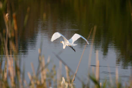 Great Egret flying to a new location. photo