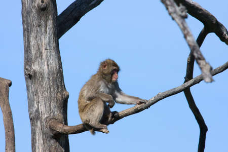 Cute Snow Monkey ( Macaque) in a Tree. Stock Photo