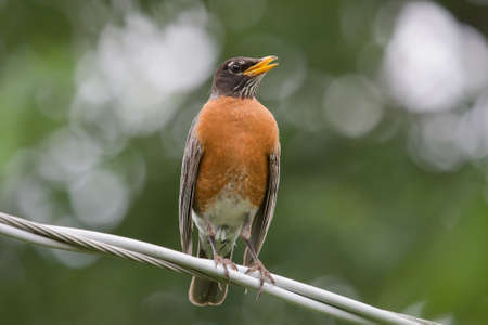 Robin singing on an electrical house wire. photo