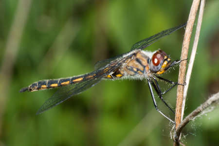darter: Common Darter Dragonfly standing on a branch.