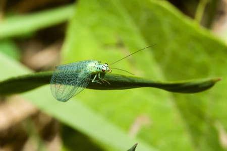 chrysope: Chrysope verte reposant sur une feuille.
