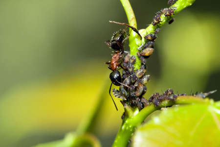 crawly: A Bull Ant keeping the aphids in check. Stock Photo