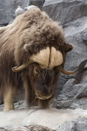 Musk Oxen Hangs on the edge to survive.