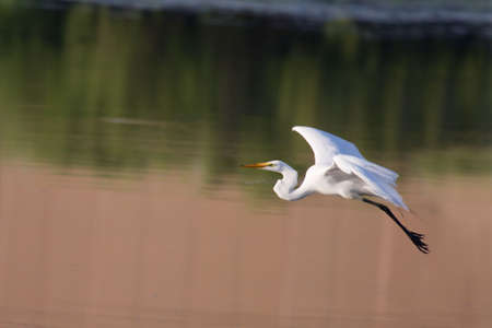 Great White Egret in Flight ready to land.
