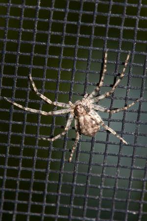 segmentata: Hairy Spider on a black Window Screen. Stock Photo