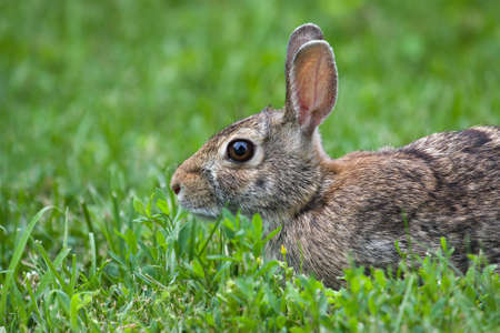 Peaceful Jack Rabbit Laying in the Grass. photo