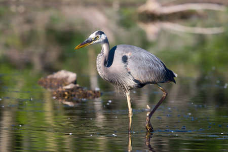 Great Blue Heron fishing in the low swamp waters. photo