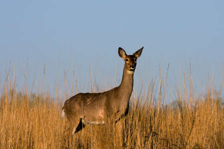 Deer standing at attention in the meadow.