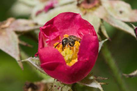 Squash Bee lijkt het slapen in een bloem. Stockfoto - 5331921