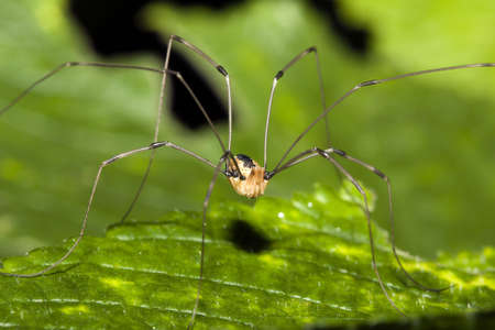 Harvestman or Daddy Long Legs standing on a leaf. Imagens