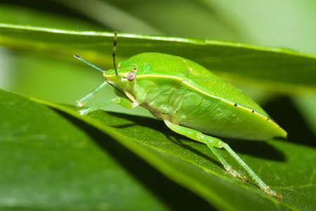 green shield bug: Green shield bug (Acrosternum sp.) on a leaf.