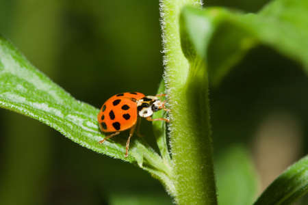 Asian Ladybug Beetle, (Harmonia axyridis) on a plant stem.