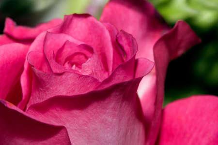Beautiful Pink Rose in a flower garden.