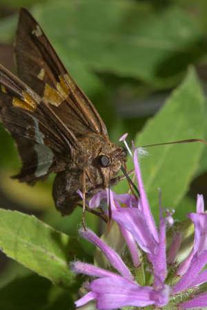 eyespot: Gray hairstreak Butterfly, Strymon melinus. Found throughout North America, Stock Photo