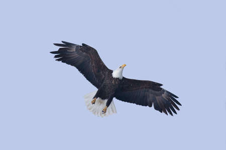 carnivorous: An image of an American Bald Eagle in Flight Stock Photo