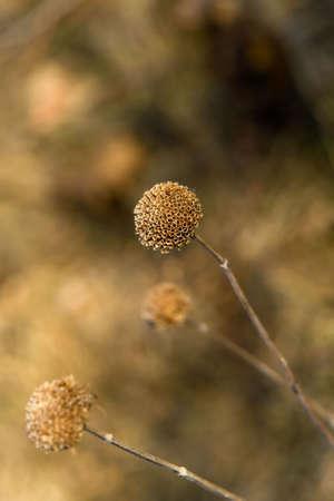 ベルガモット ワイルド (ヤグルマハッカ fistulosa) 冬の間まだ直立。