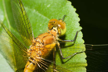 darter: Common Darter Dragonfly perched on a leaf.