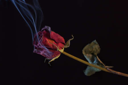 Smoking Red Rose. A symbol of a burning love, or one that burnt out.