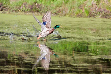drakes: Mallard picking up speed to take off flying. Stock Photo