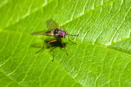 chitin: A Common house Fly on a Leaf.