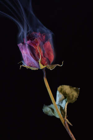 burnt out: Smoking Red Rose, a symbol of a burning love, or one that burnt out.