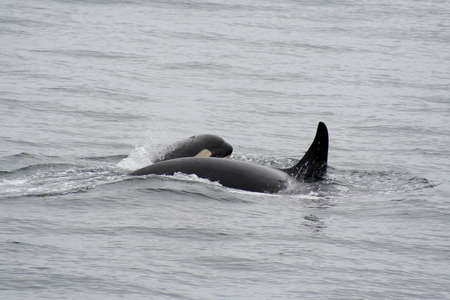 Killer Whale and her Calf swims along side. photo