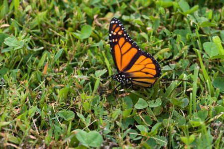 danaus: Monarch Butterfly (Danaus plexippus) walking along the ground.