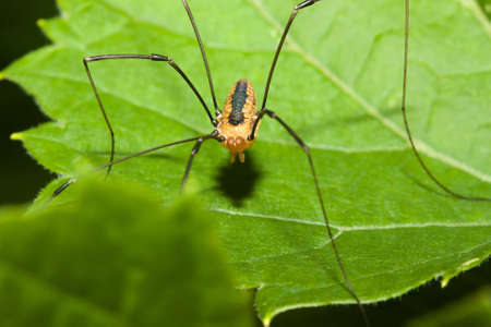 daddy long legs: Harvestman spider standing on a tree leaf.