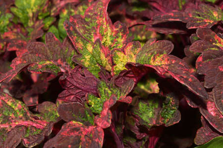 bunched: Beautiful Coleus plants bunched together in a cluster.