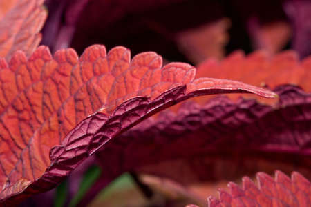 Beautiful Coleus plants bunched together in a cluster.