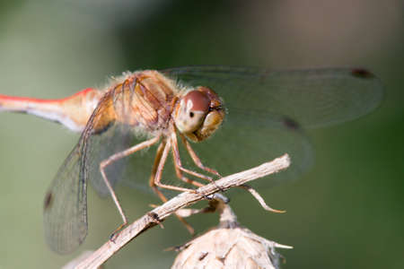 Common Darter Perched on a small twig.