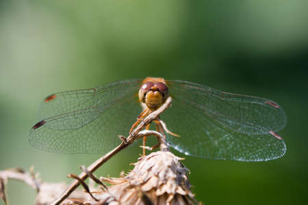 wandering: Wandering Glider Dragonfly perched on a twig. Stock Photo