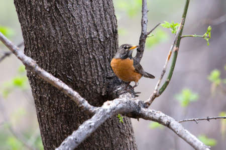 robins: American Robin perched in a tree looking attentive.