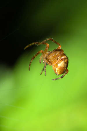 Female Cobweb Spider waiting for its next meal.