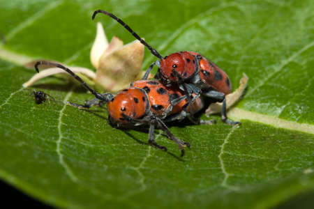 Two Red Milkweed Beetles Mating on a leaf.