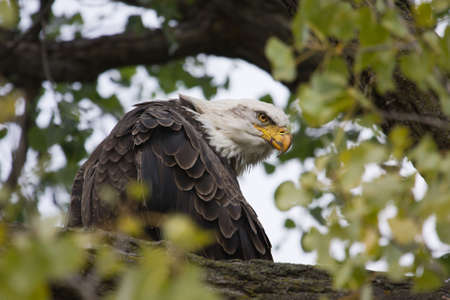 American Bald Eagle perched in a tree. photo