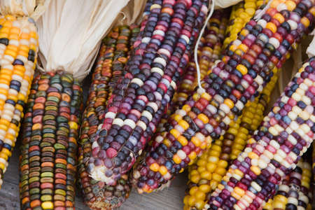 Close up shot of a freshly plucked Indian corn. photo