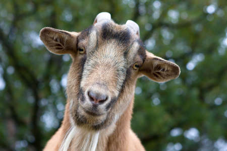 billy: Close up of a curious Billy Goat.