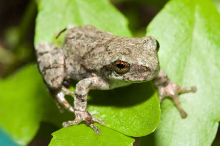 Copes Gray Tree frog standing on a plant leaf.