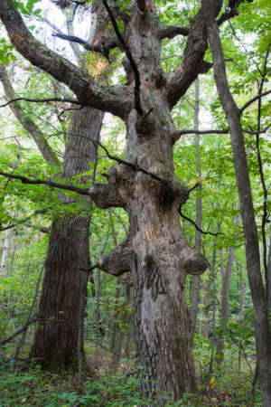 knobby: A very old knobby tree shows its age and leans to the left.