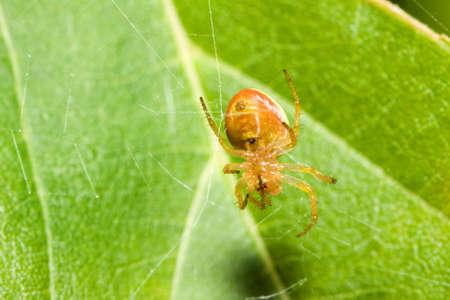 Vrouwelijke cobweb tot vaststelling van een gebroken web Spider.  Stockfoto