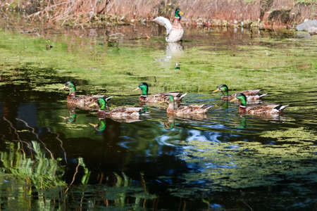 back and forth: Mallards swimming back and forth in a swamp. Stock Photo