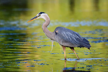 Great Blue Heron looking for its next Meal. Imagens