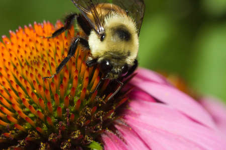 Golden Northern Bumblebee on a cone flower. Фото со стока - 5847542