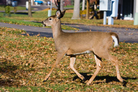 Young Deer running from the noise in the area. Imagens