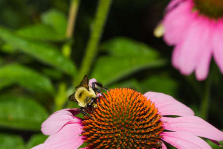 hexapod: Golden Northern Bumblebee on a cone flower.